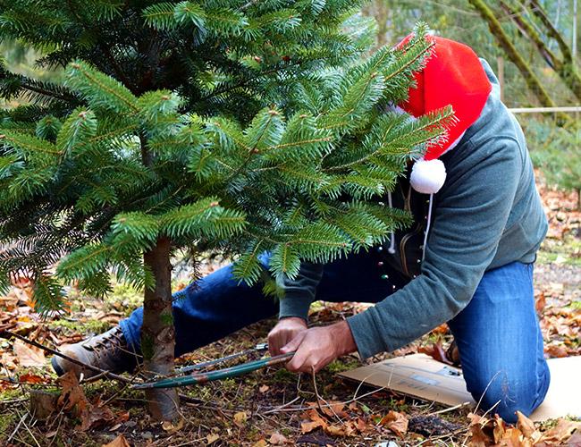 U Cut Christmas Trees.Christmas Trees Fall City Farms